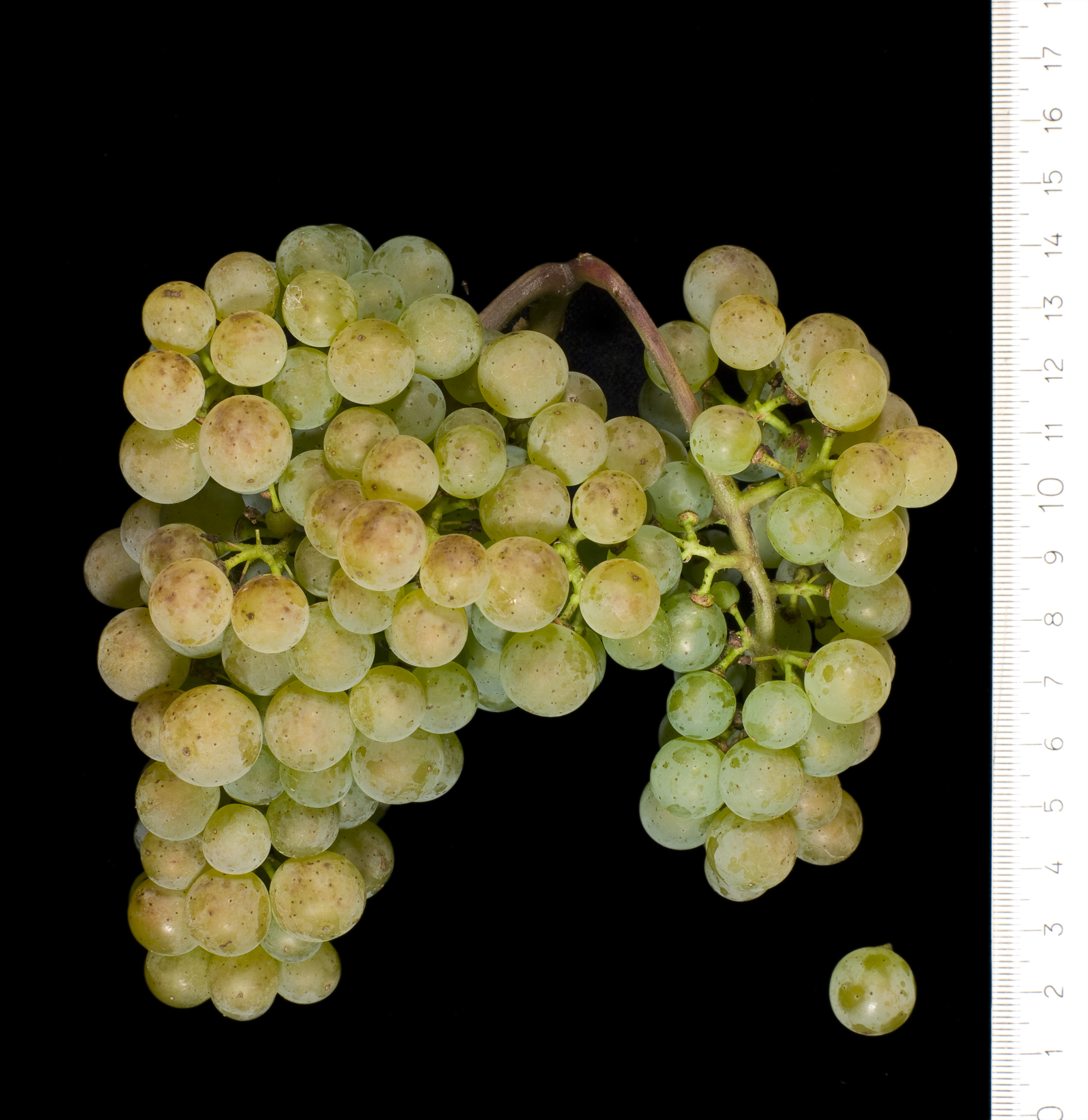 VIVC15689 ALVARINHO Cluster in the laboratory 7580