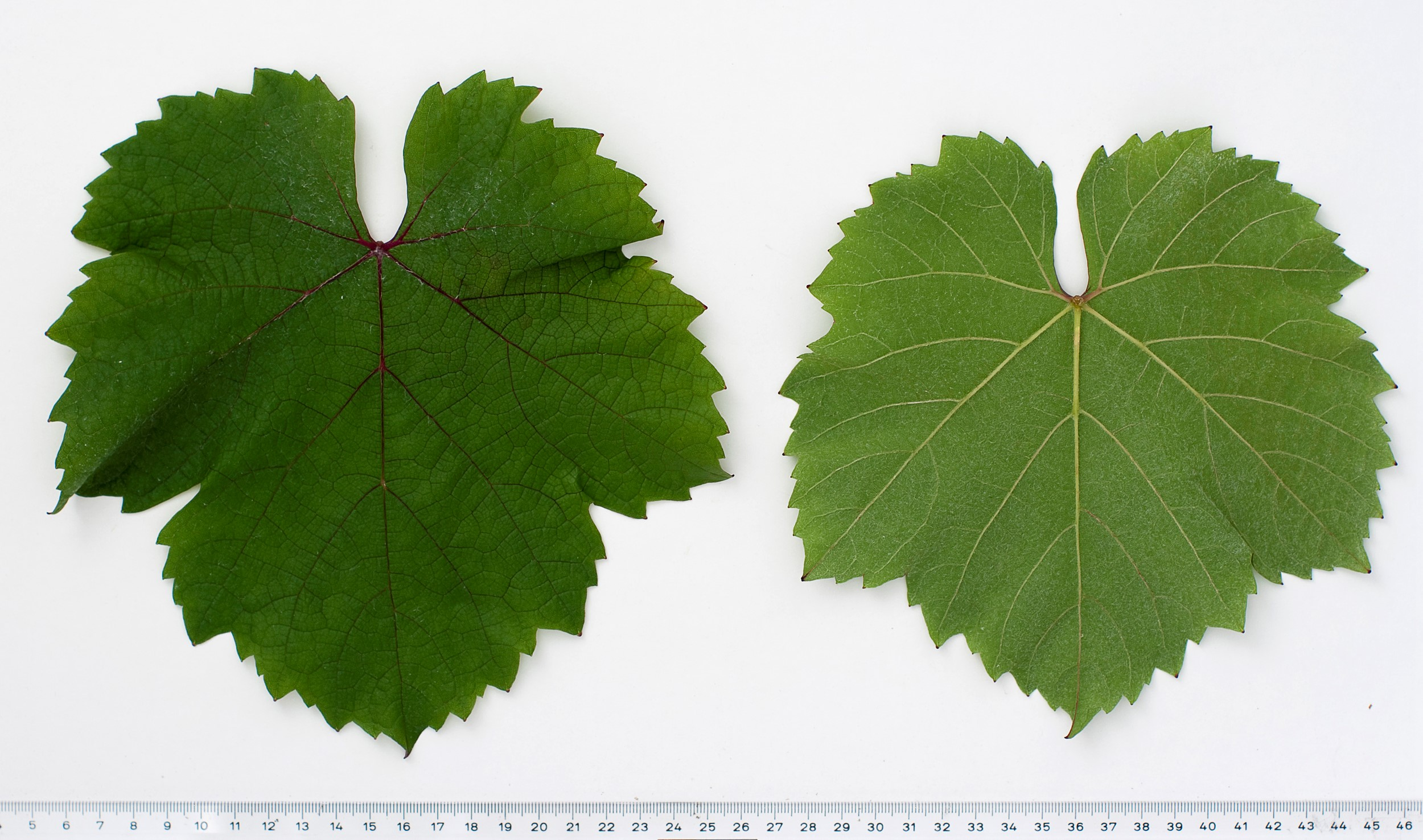 VIVC15499 CABERNET MITOS Mature leaf 10113