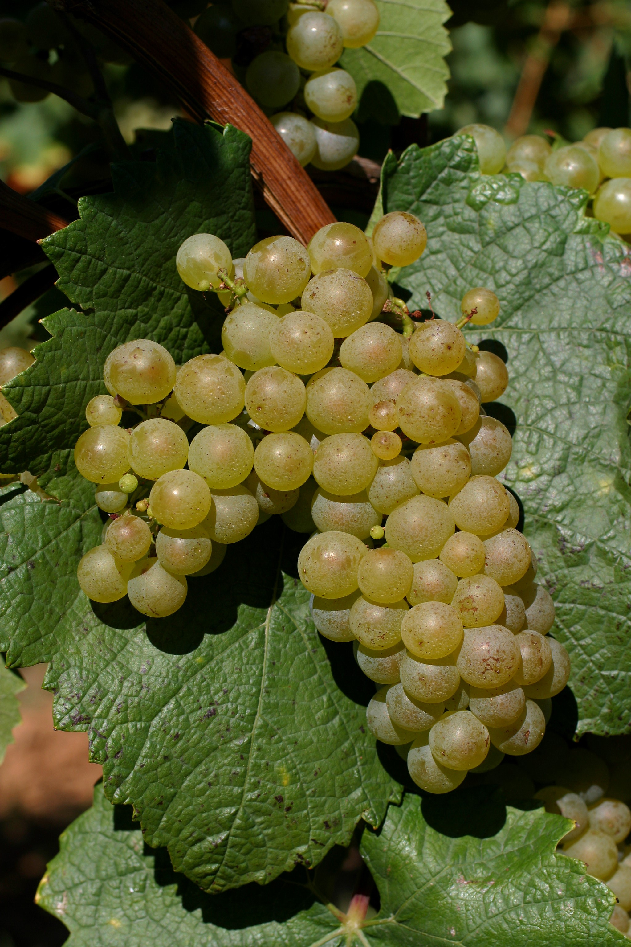 VIVC2455 CHARDONNAY BLANC Cluster in the field 8941