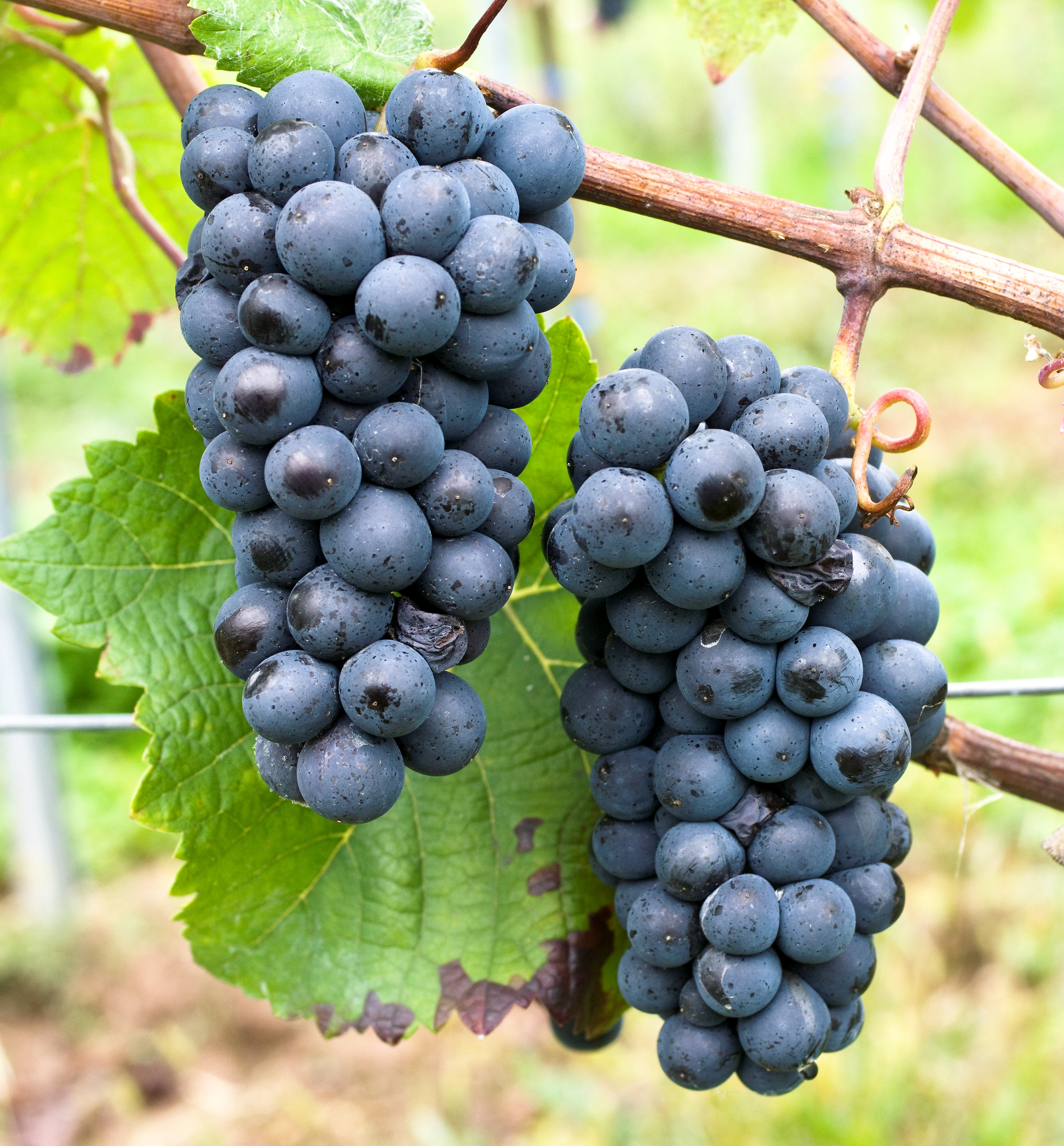 VIVC9280 PINOT PRECOCE NOIR Cluster in the field 18604