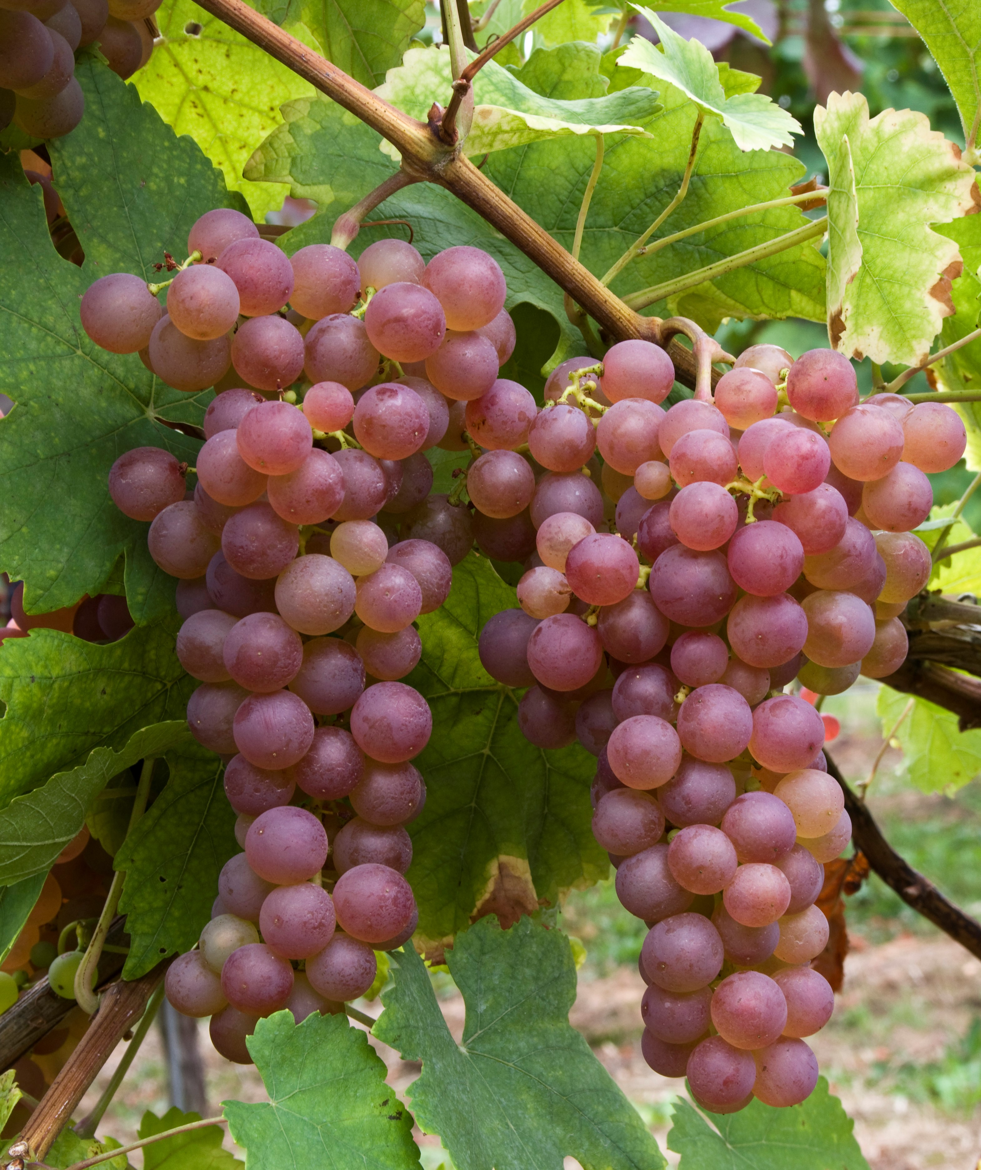 VIVC2493 CHASSELAS ROSE Cluster in the field 16926