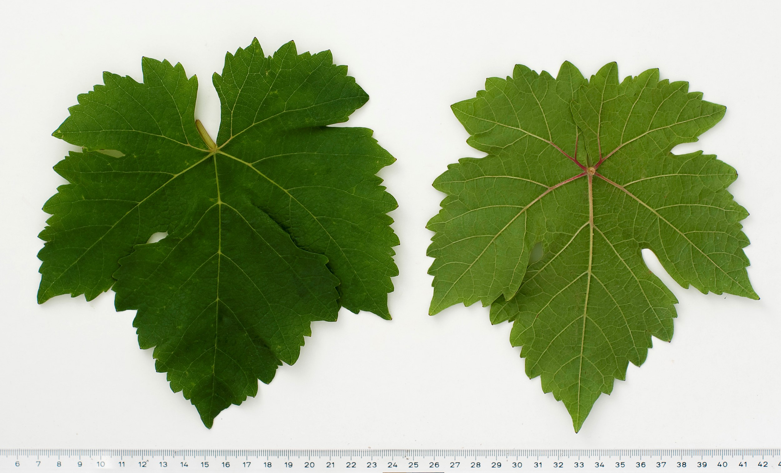 VIVC2493 CHASSELAS ROSE Mature leaf 10127