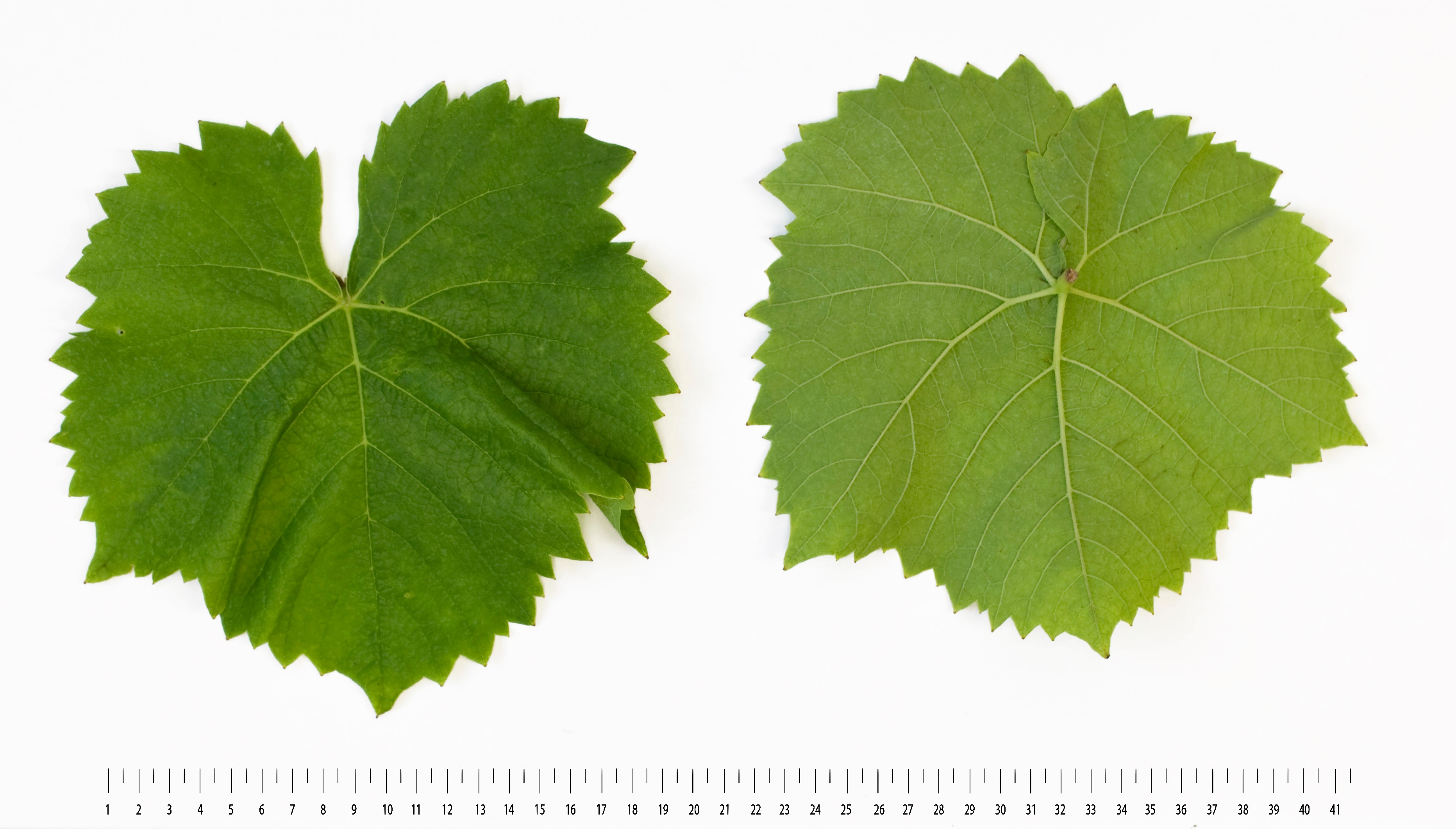 VIVC22628 MUSCARIS Mature leaf 16301