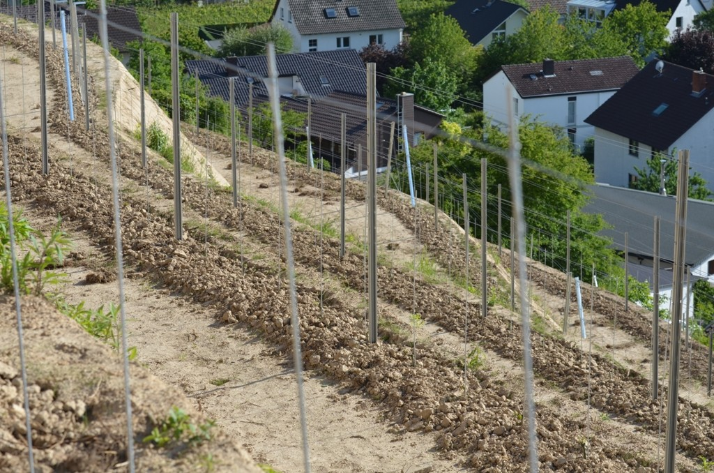2012-05-17 Austrieb des Roten Riesling ANT 9940