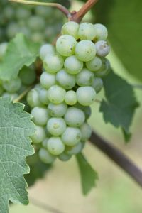 Riesling 326 Gm ANT 5458 small