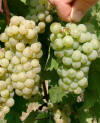 Riesling GM 352 links GM 110 rechts_small