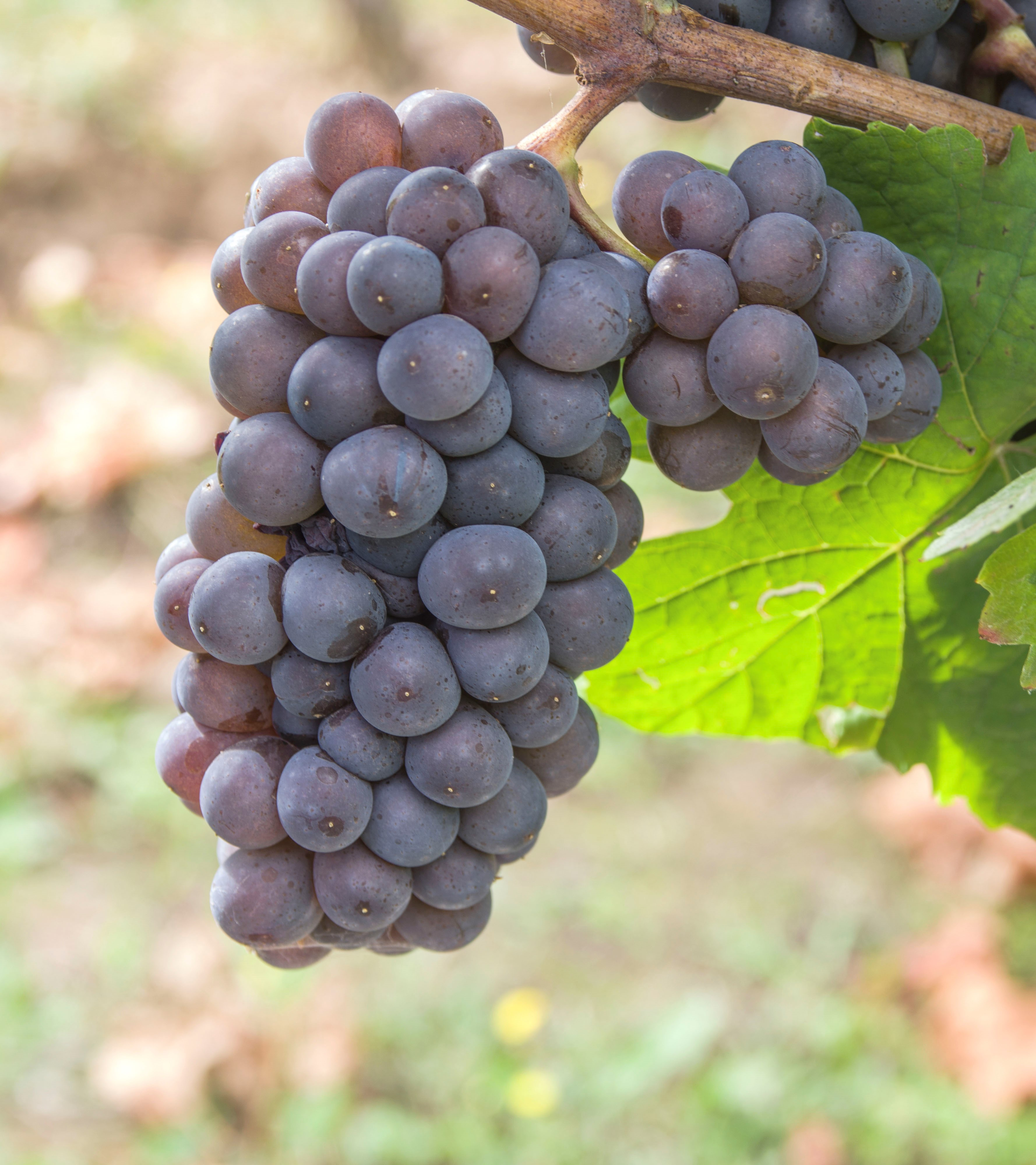 VIVC9275 PINOT GRIS Cluster in the field 20324