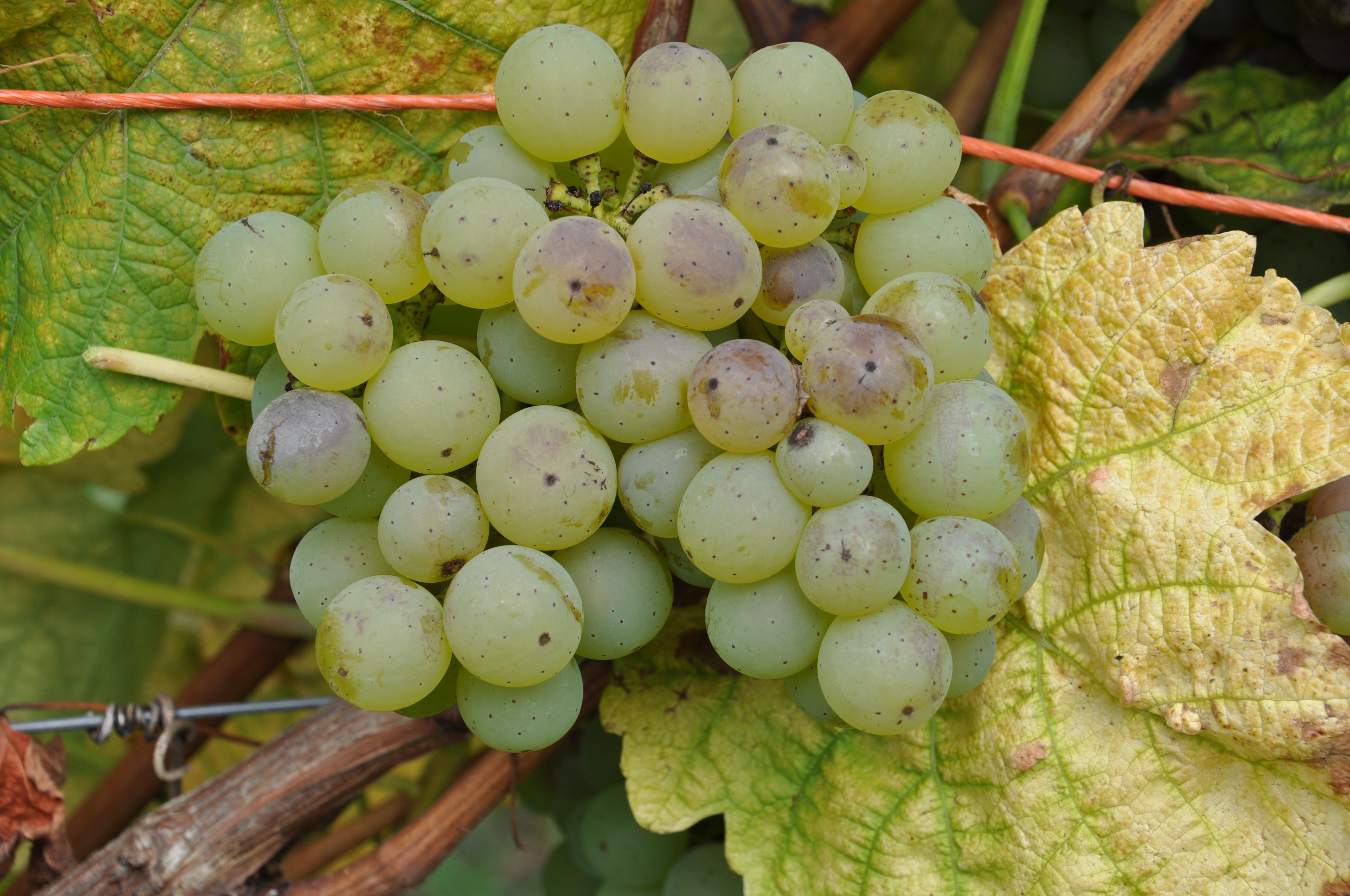 VIVC11796 SILCHER Cluster in the field 8188