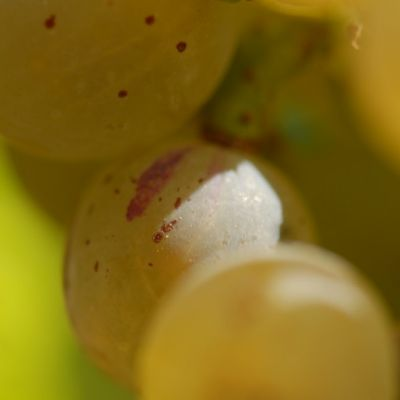 Farbmutation roter zu weissem Riesling ANT 1153