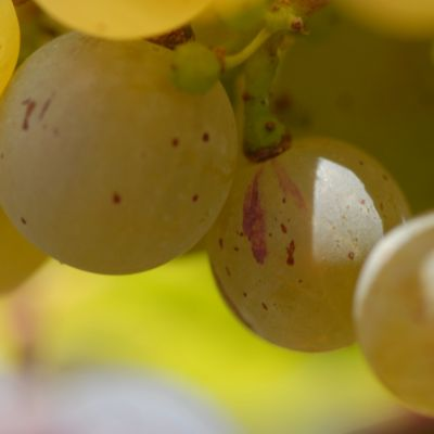 Farbmutation roter zu weissem Riesling ANT 1155