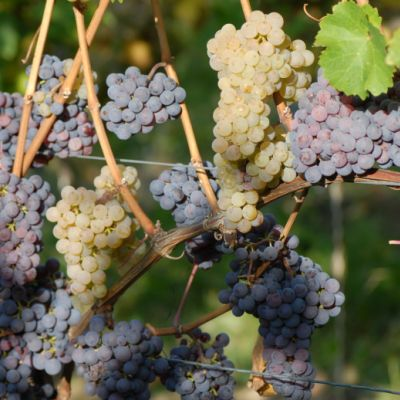 Farbmutation roter zu weissem Riesling ANT 1458
