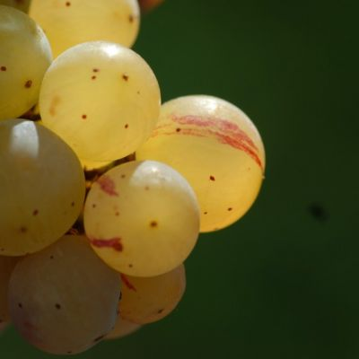 Farbmutation roter zu weissem Riesling ANT 1483